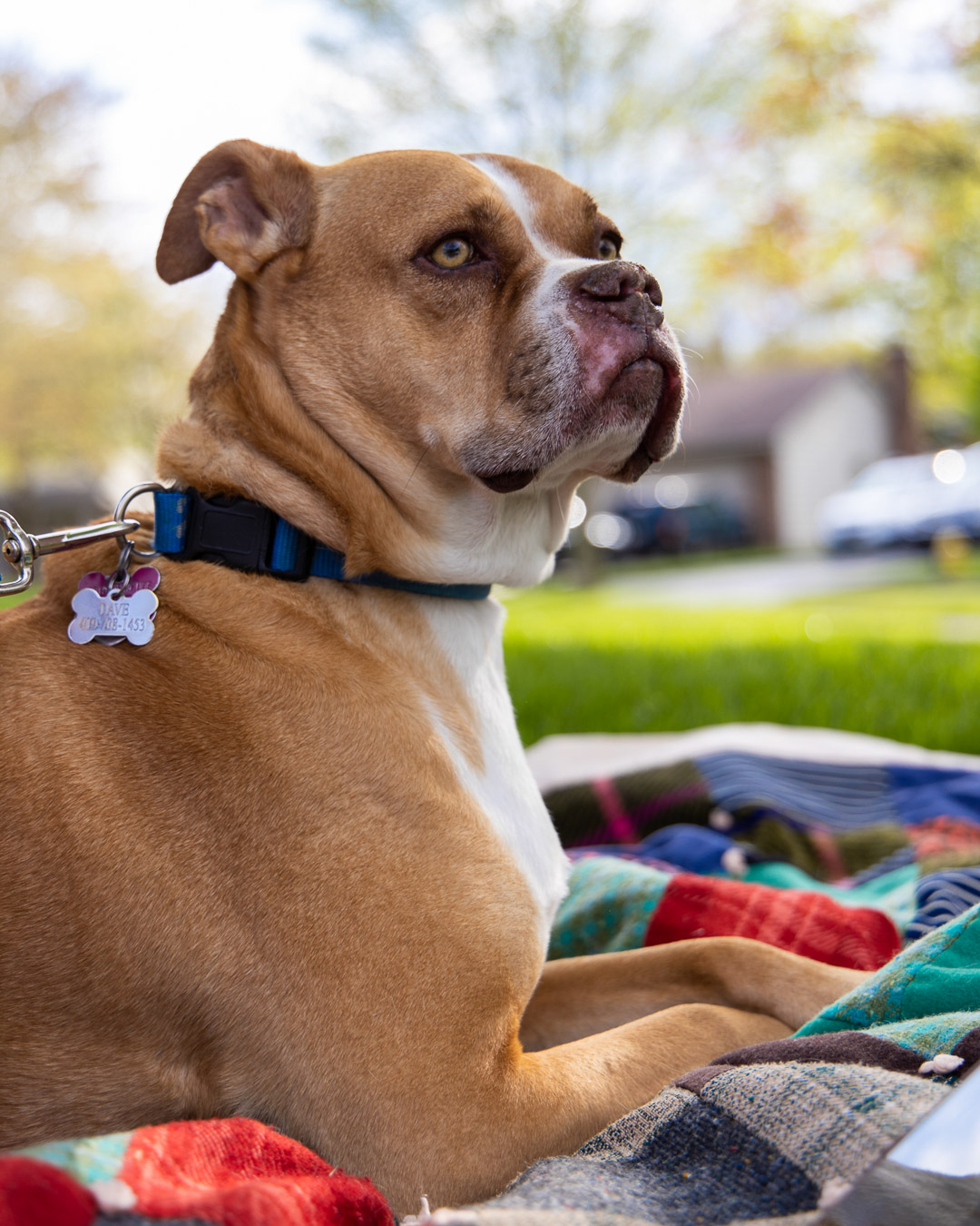 Boxer laying on his blanket on a hot summer's day.